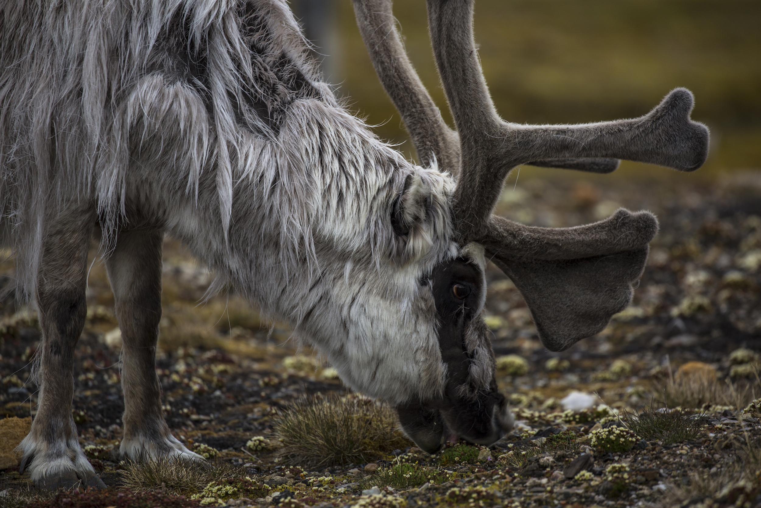 Deer_2500px 2.jpg