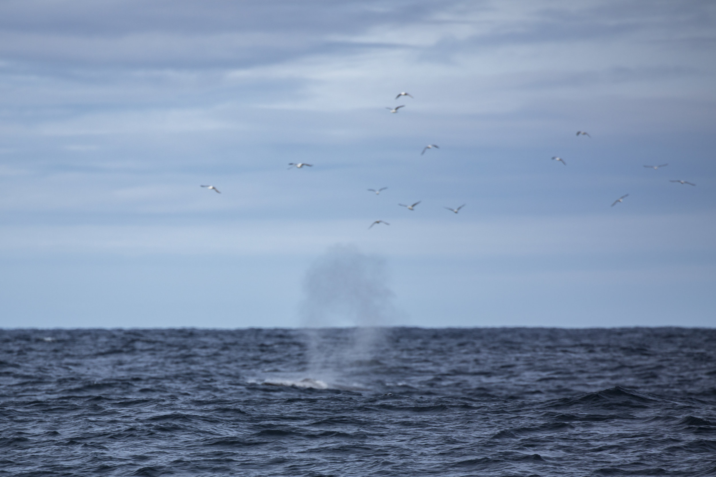 Thar she blows! We actually encountered this Fin Whale on the way to Svalbard last summer. I didn't have a photo of mom's birthday whale!
