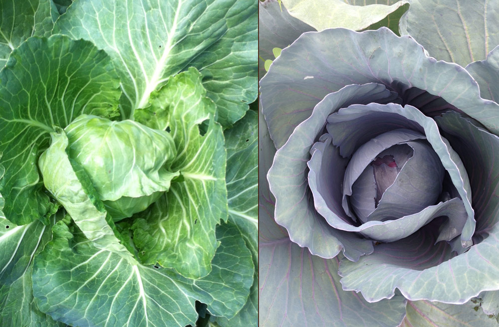 Green and Red cabbage from the farm this spring