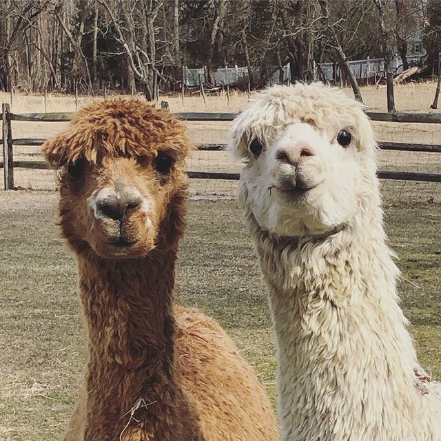 Save Earth. It's the only planet with alpacas on it! 🦙🌎 #alpacasofinstagram #lmgf #earthday2019