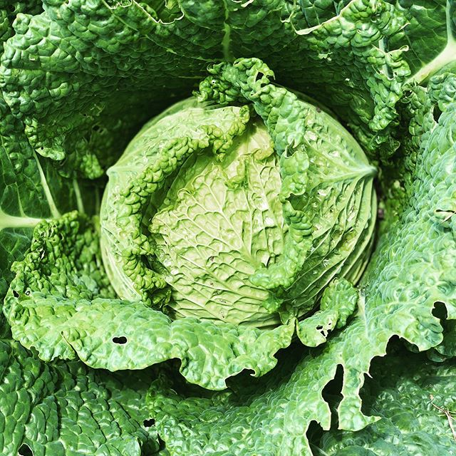 Do you know how GOOD cabbage is for you? It's an antioxidant food packed with vitamin C, K, B6 and fiber, and aids in digestion (it has been known to cure ulcers!) It's a primo anti-cancer food, which personally is enough reason for me, and dare we say, delicious? 🥬 💚 What are some of your favorite ways to enjoy cabbage? #lmgf #cabbagelover #napacabbage
