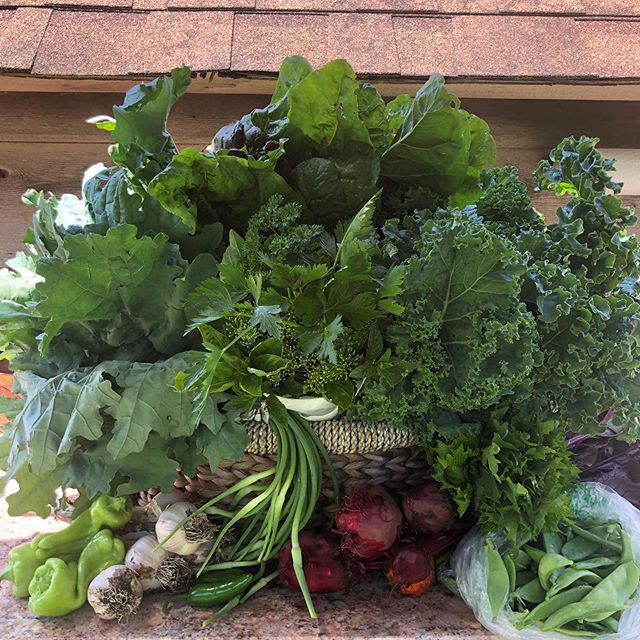 This week's basket will get you SET UP! Beets, fresh garlic, snowpeas, scapes (til we run out), cubanelle peppers, jalapeños, kales, chard, shiso and a big bright herb bouquet! Try roasting the garlic and beets with some thyme and serving over some massaged kale with an herby vinaigrette ! 💚🥬🥗 #lmgf #thisweeksbasket #summergreens #garlic