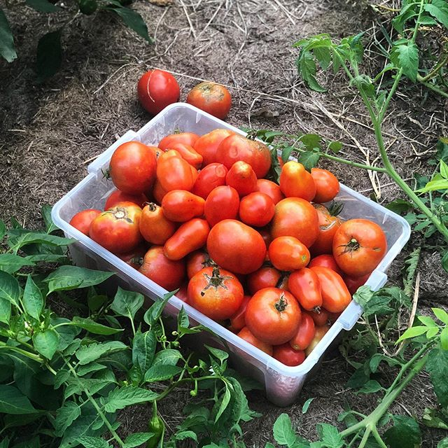 Tomato season is full on. 🍅🍅🍅🍅🍅🍅🍅🍅🍅🍅🍅🍅🍅🍅🍅🍅🍅🍅🍅🍅🍅🍅🍅🍅🍅#lmgf #tomatotime