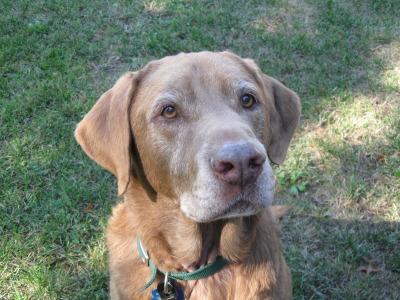 ovma Rusty photo courtesy Senior Dog Rescue of Oregon.jpg