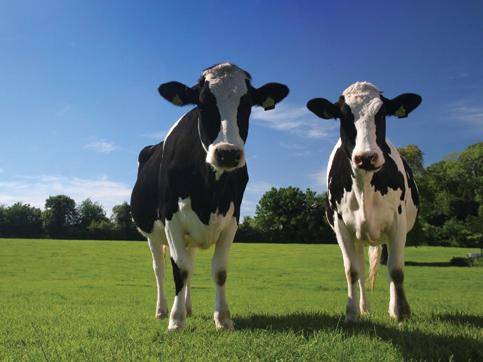 grazing+cows.jpg