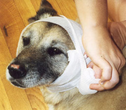 dog_head_bandage.jpg