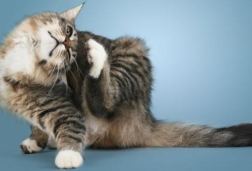 photolibrary_rf_photo_of_cat_scratching.jpg