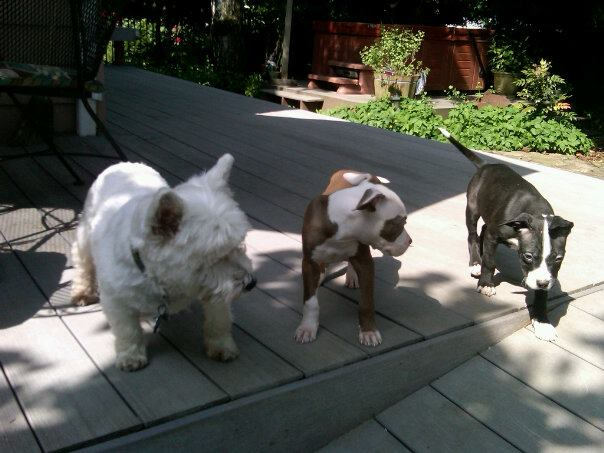 One Westie and two Pittie Pups share notes