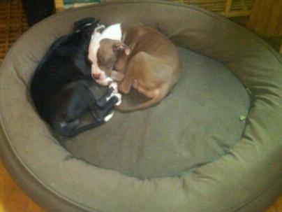 Pittie Puppies_0.jpg