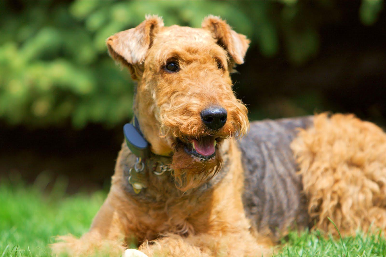 airedale-terrier-1.jpg