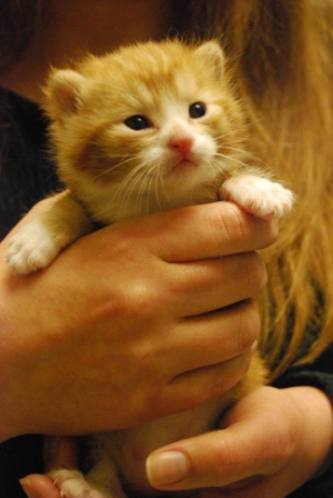 This little guy is just one of the hundreds of kittens who will receive lifesaving foster care, veterinary attention, and adoption services through the Cat Adoption Team (CAT) this year. Photo by: Nancy Puro.