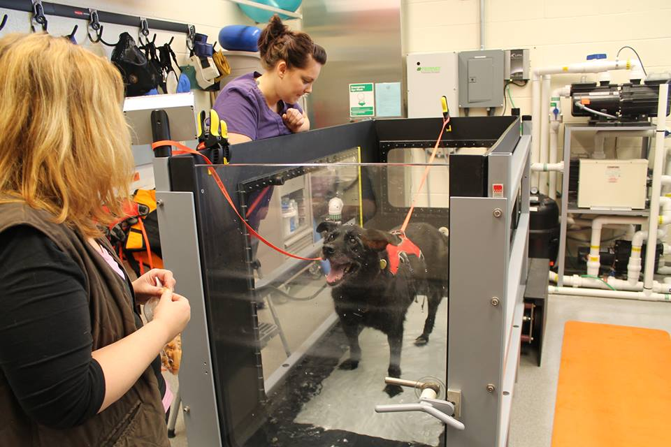 Levi learns to use the underwater treadmill at OSU Veterinary Teaching Hospital