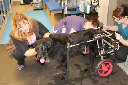 The author, left, comforts her dog Levi, age 13, as he tries out a wheelchair