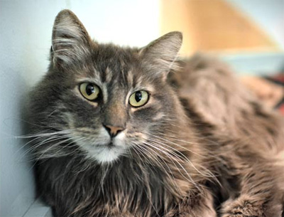 Duke of Sampsononiah, an eight-year old male cat, became available for adoption at OHS earlier this week
