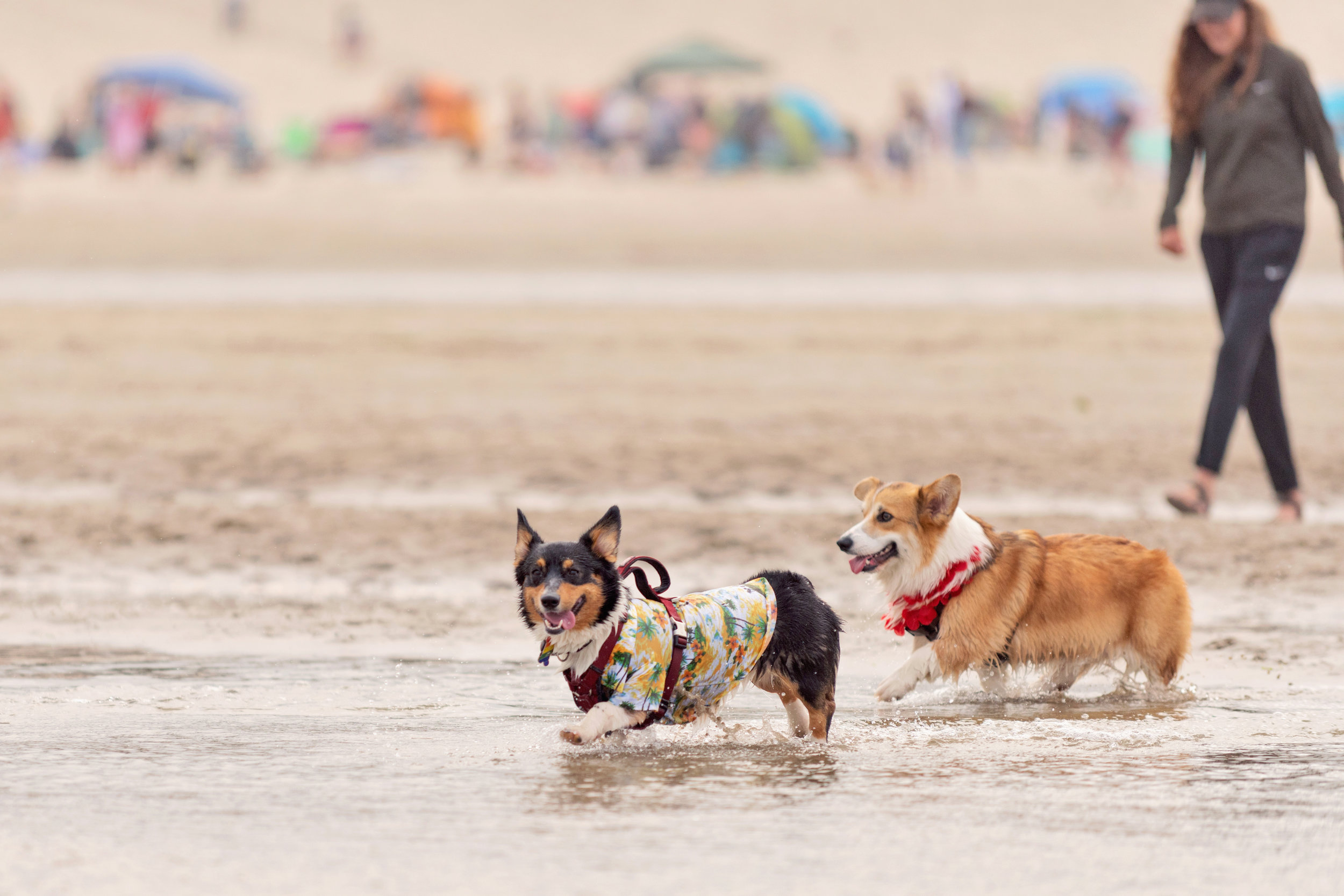 Corgis at the beach. Photo by Danyel Rogers