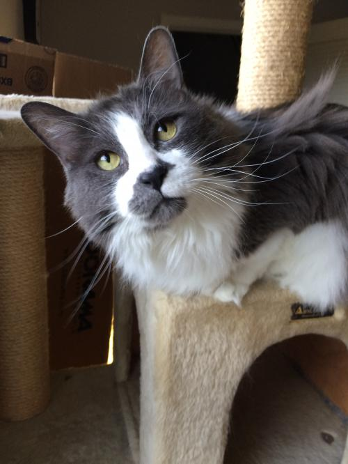Meet Buddy Love , an adoptable 7-year-old cat at Cat's Cradle Rescue.