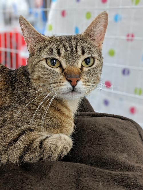 Meet JJ,  an adoptable cat at Cat's Cradle Rescue
