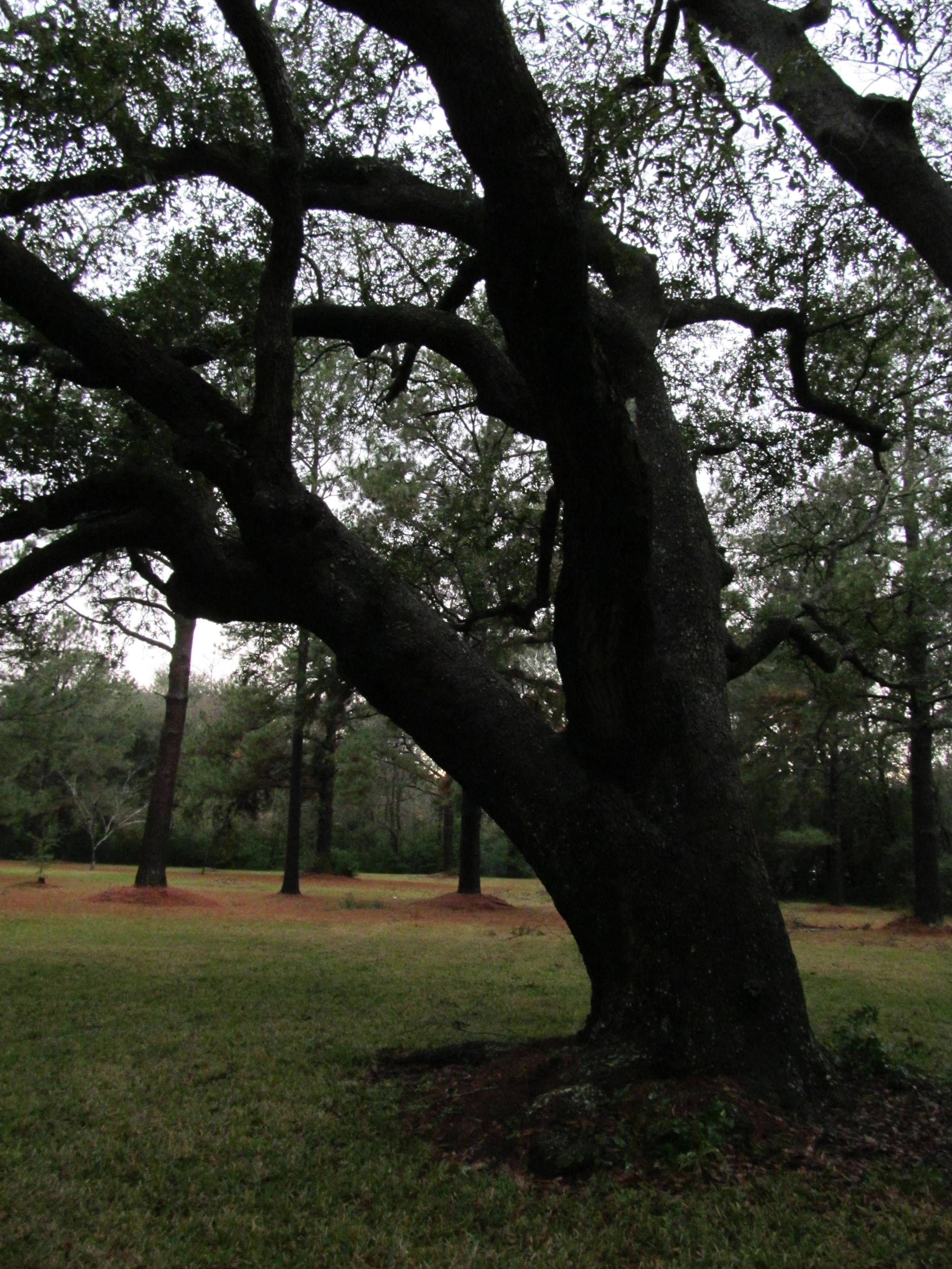 One of the magnificent Oaks we've missed.