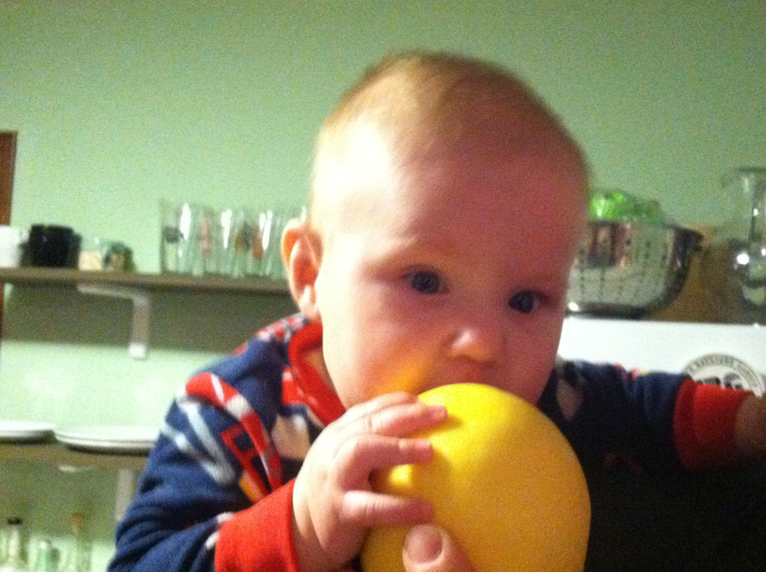 Baby Nolan honing his fruit-chewing skills on a Moon Dog Farms grapefruit,