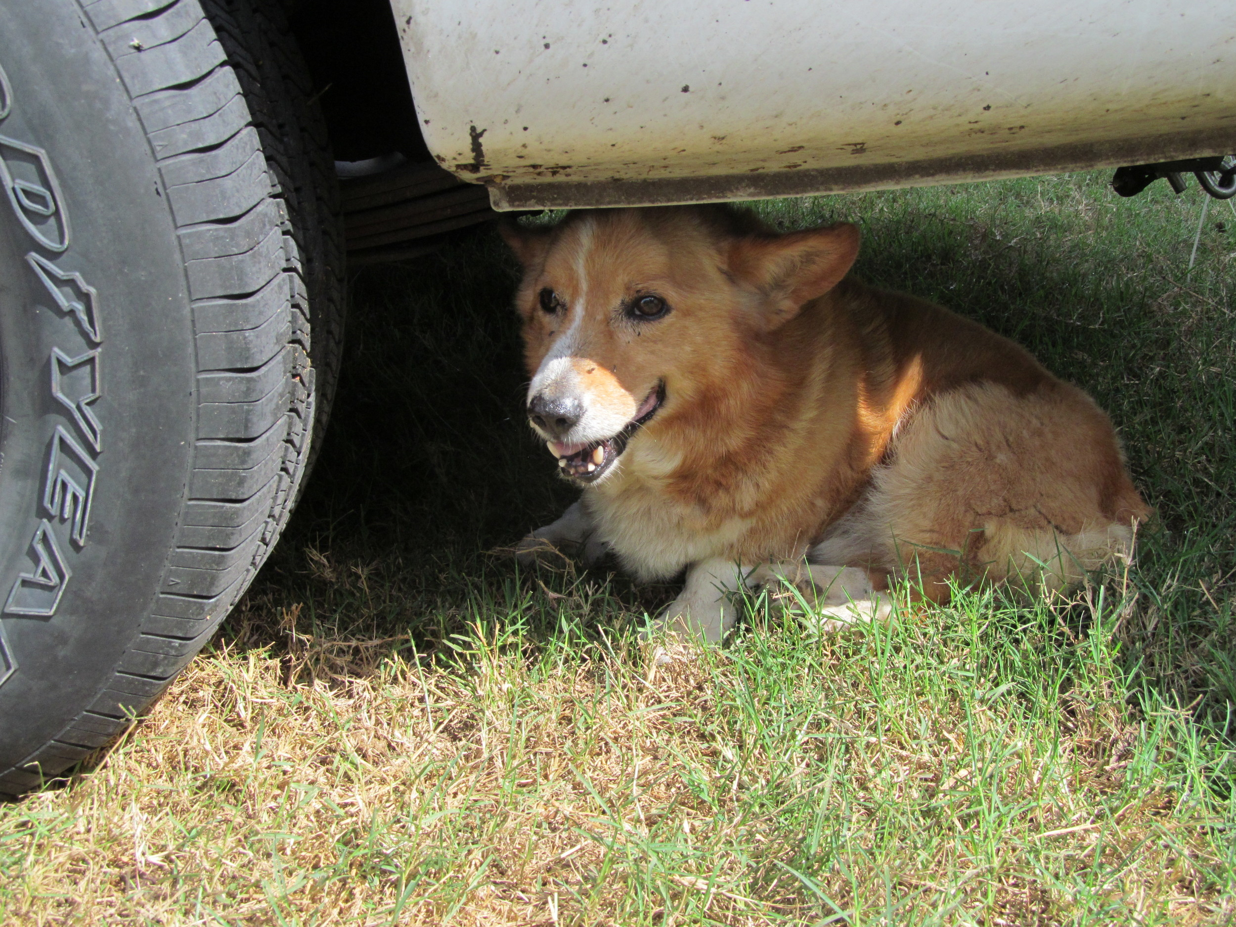 The neighbor's sweet Corgi who immediately claimed a spot under our truck amid all the poo shoveling.