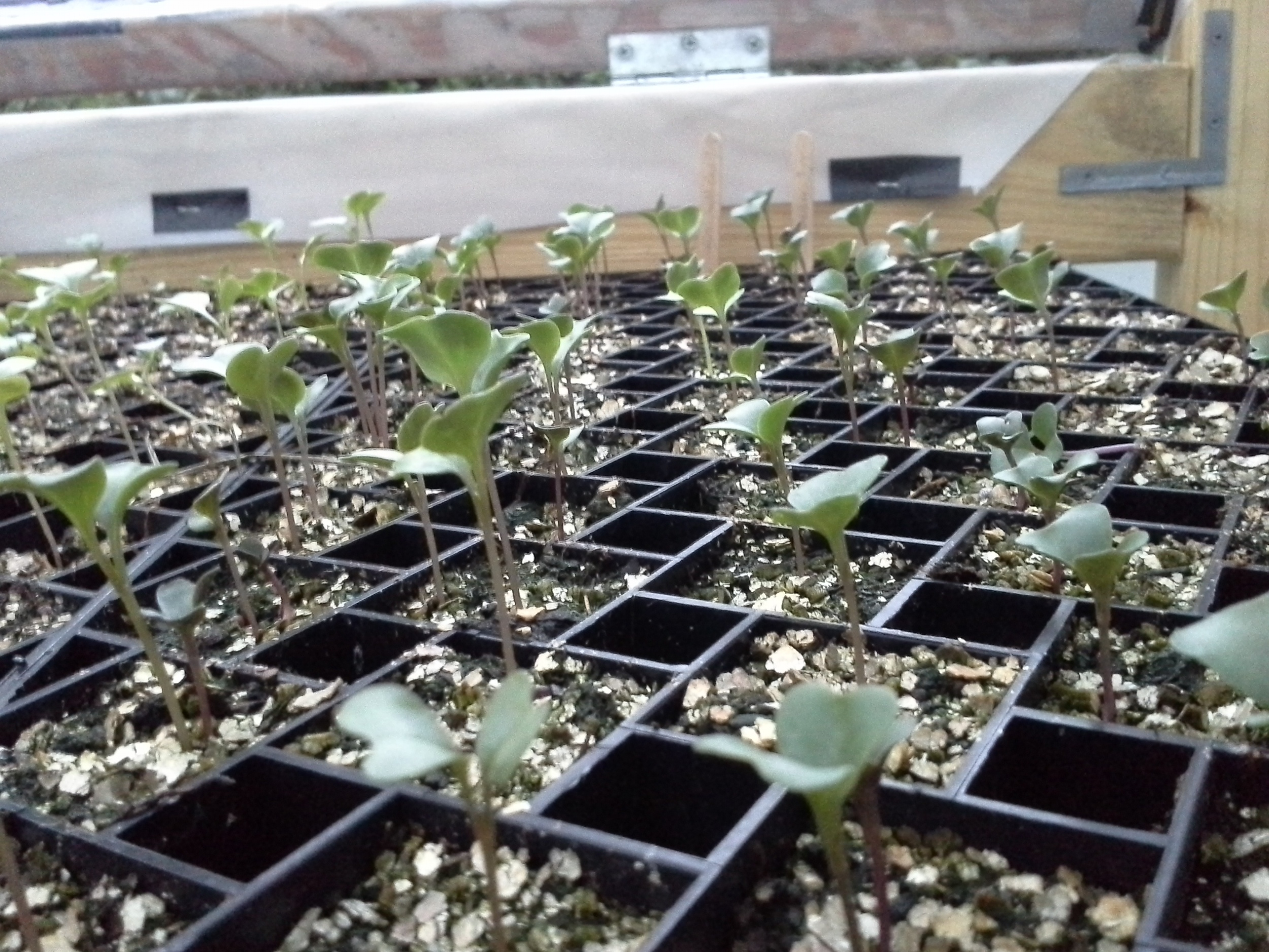 Some brassica babies waiting to be move on up in the world...