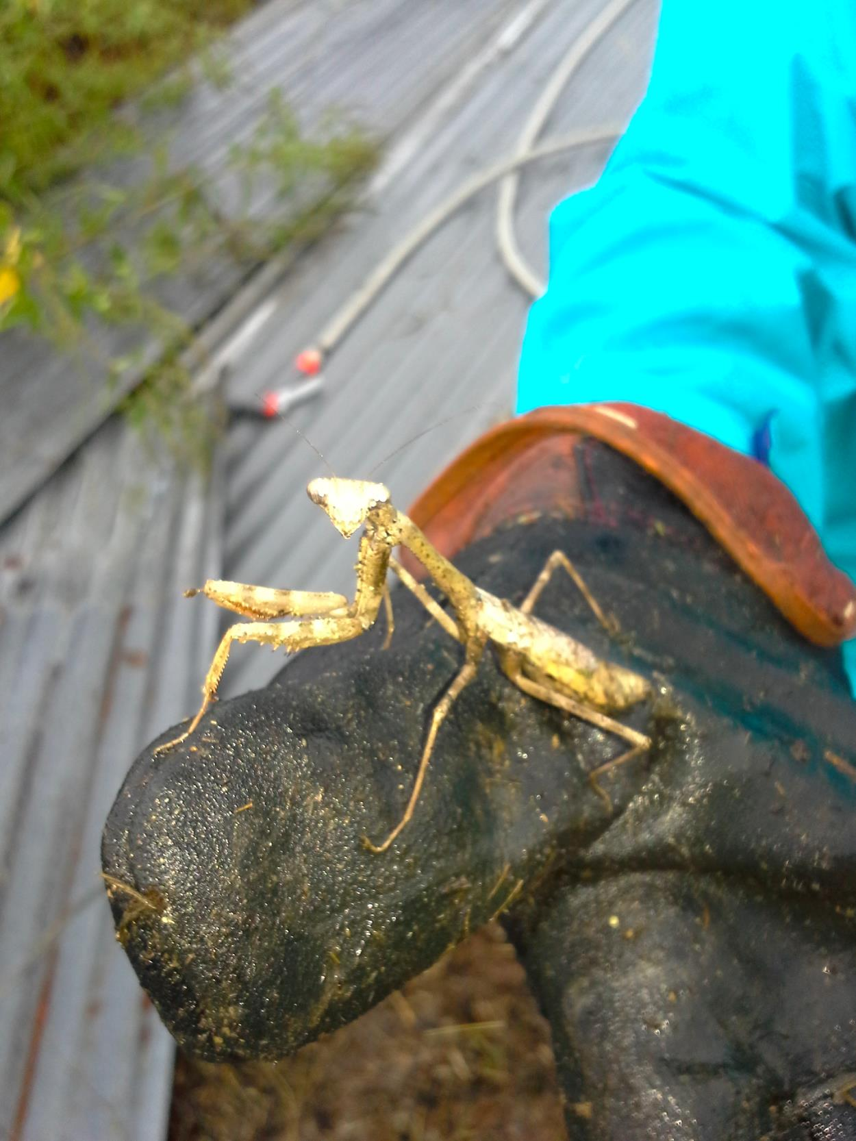 Found this praying mantis hanging perilously close to burning twigs. Don't worry, we ferried him to safety.