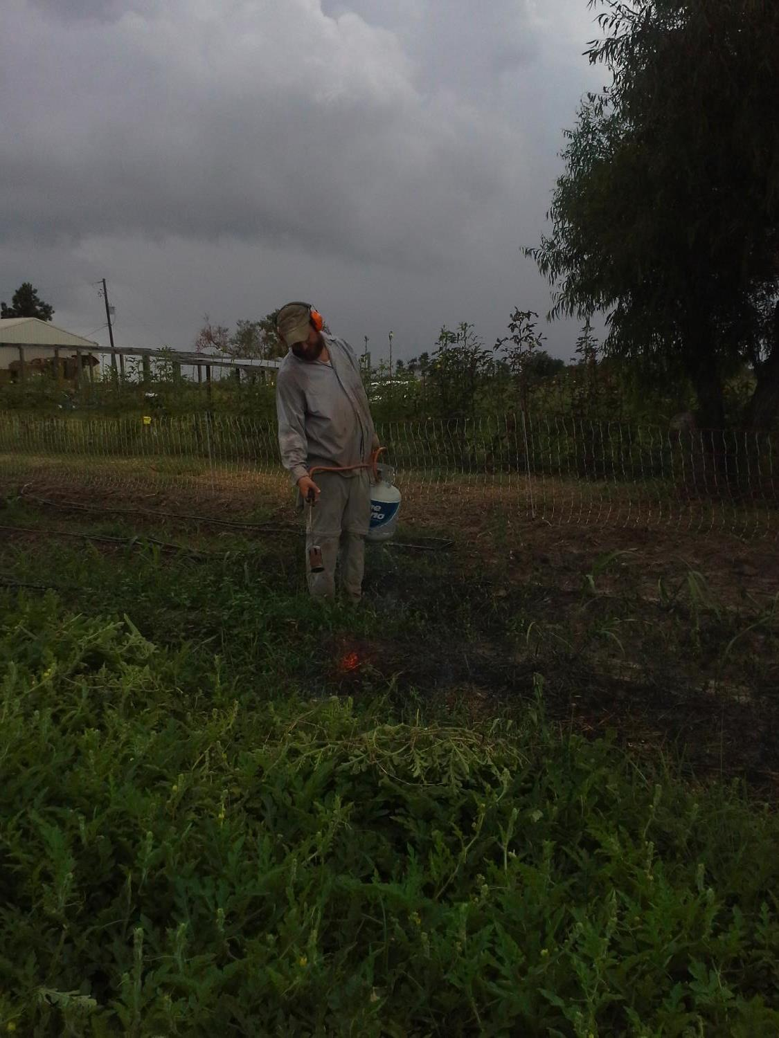 While the watermelon vines quiver in proximity, Alex flame-weeds the last pesky weeds from a bed before a brussels sprouts planting.