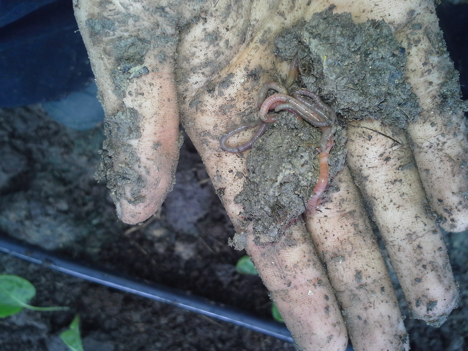 So many earthworms were found while transplanting our brussels sprouts! Yay!