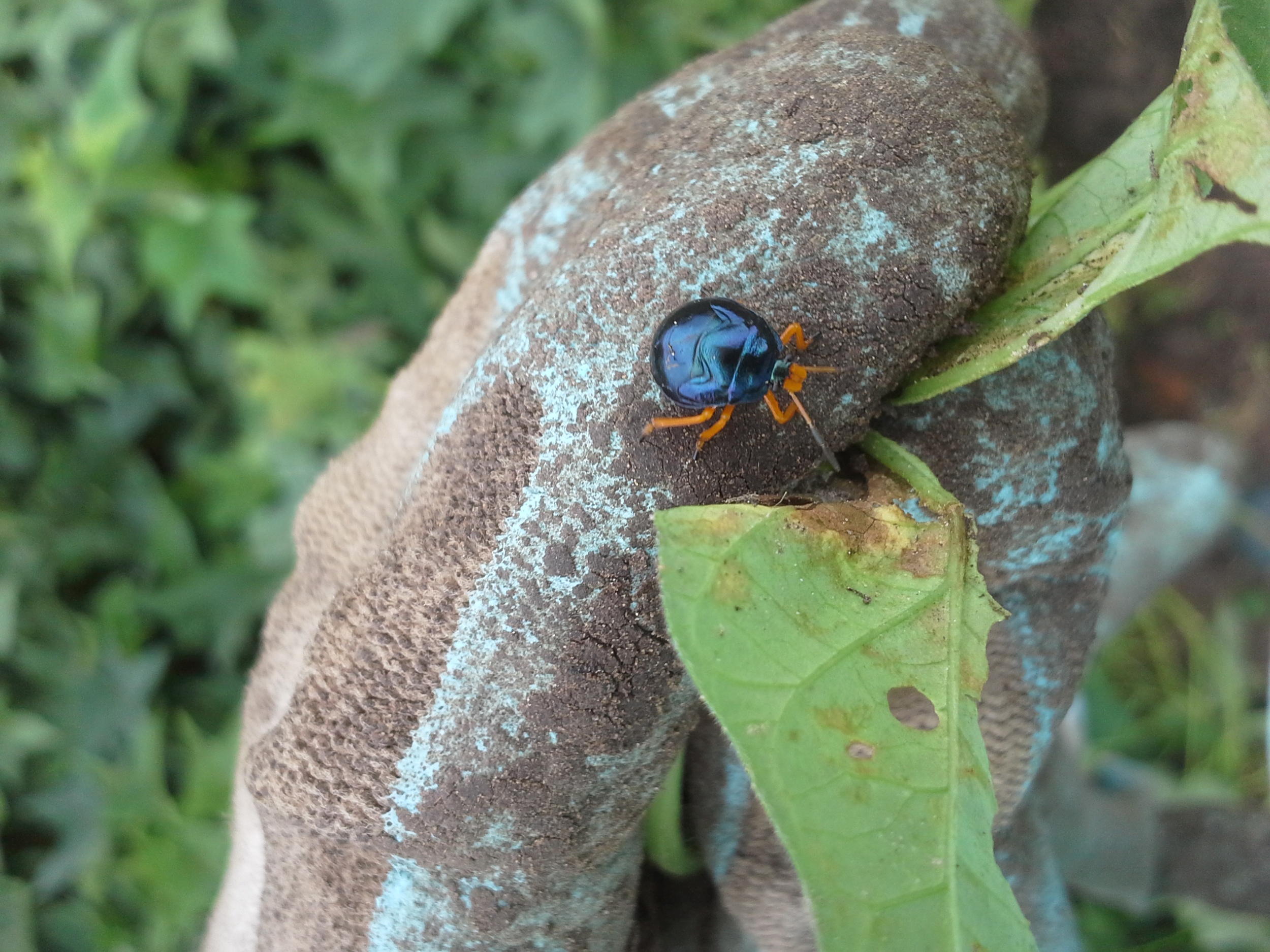 Young beetle I can't identify but think is in the Stiretrus family. Beautiful, huh?