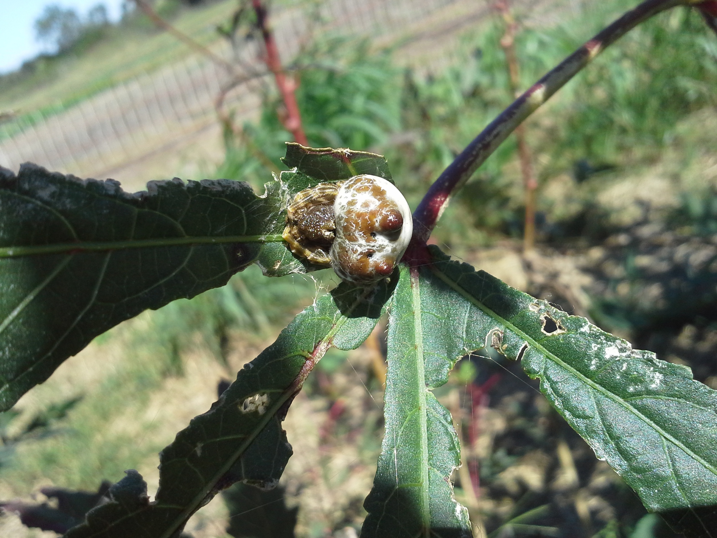 Bolas spider, sleeping in the okra. She dangles a sticky blob of webbing down from the leaves to catch unsuspecting moths and the like before wrangling them to her mouth. Creepy and amazing!