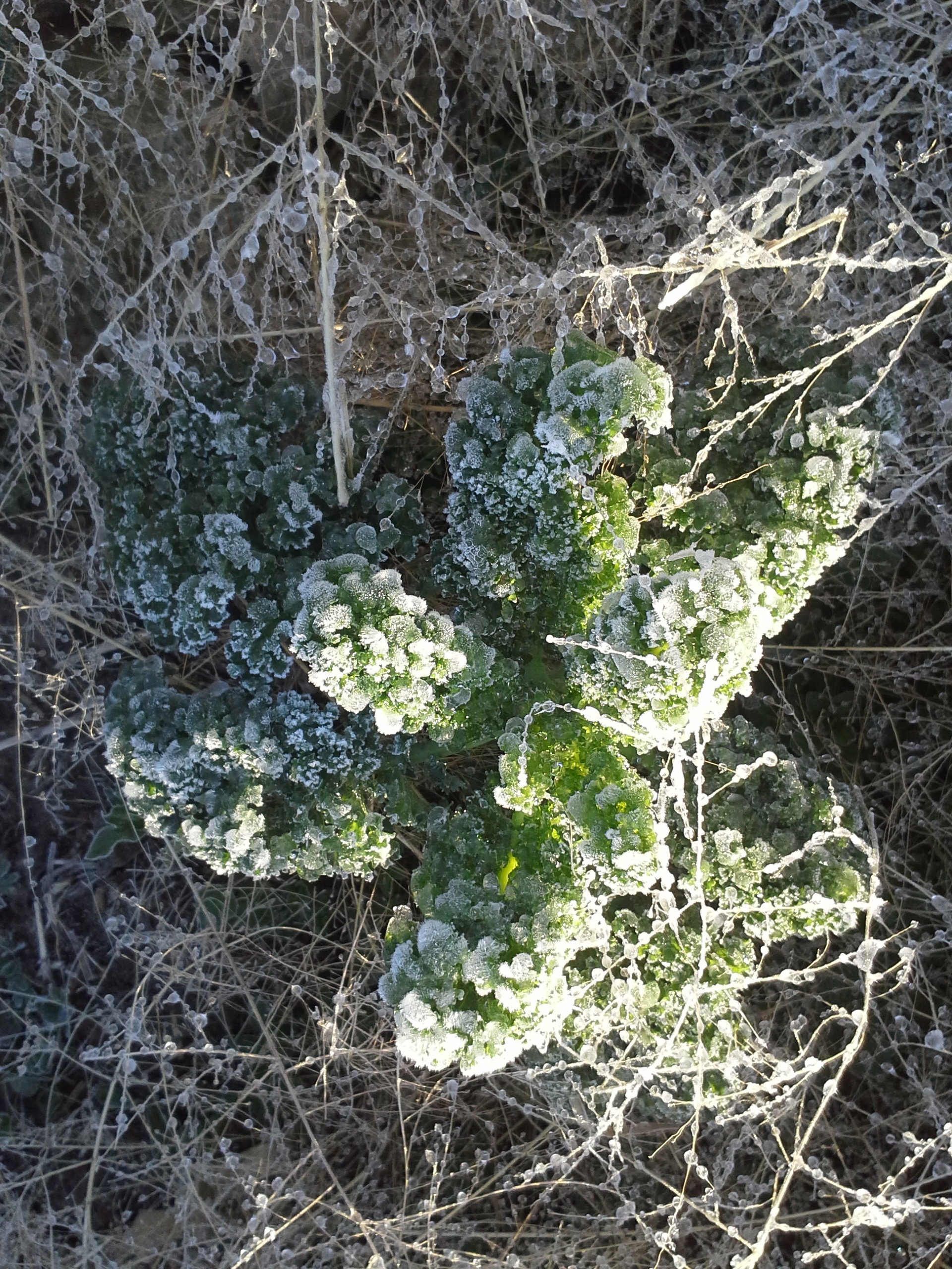 Tumbleweeds and curly kale locked in frozen embrace.
