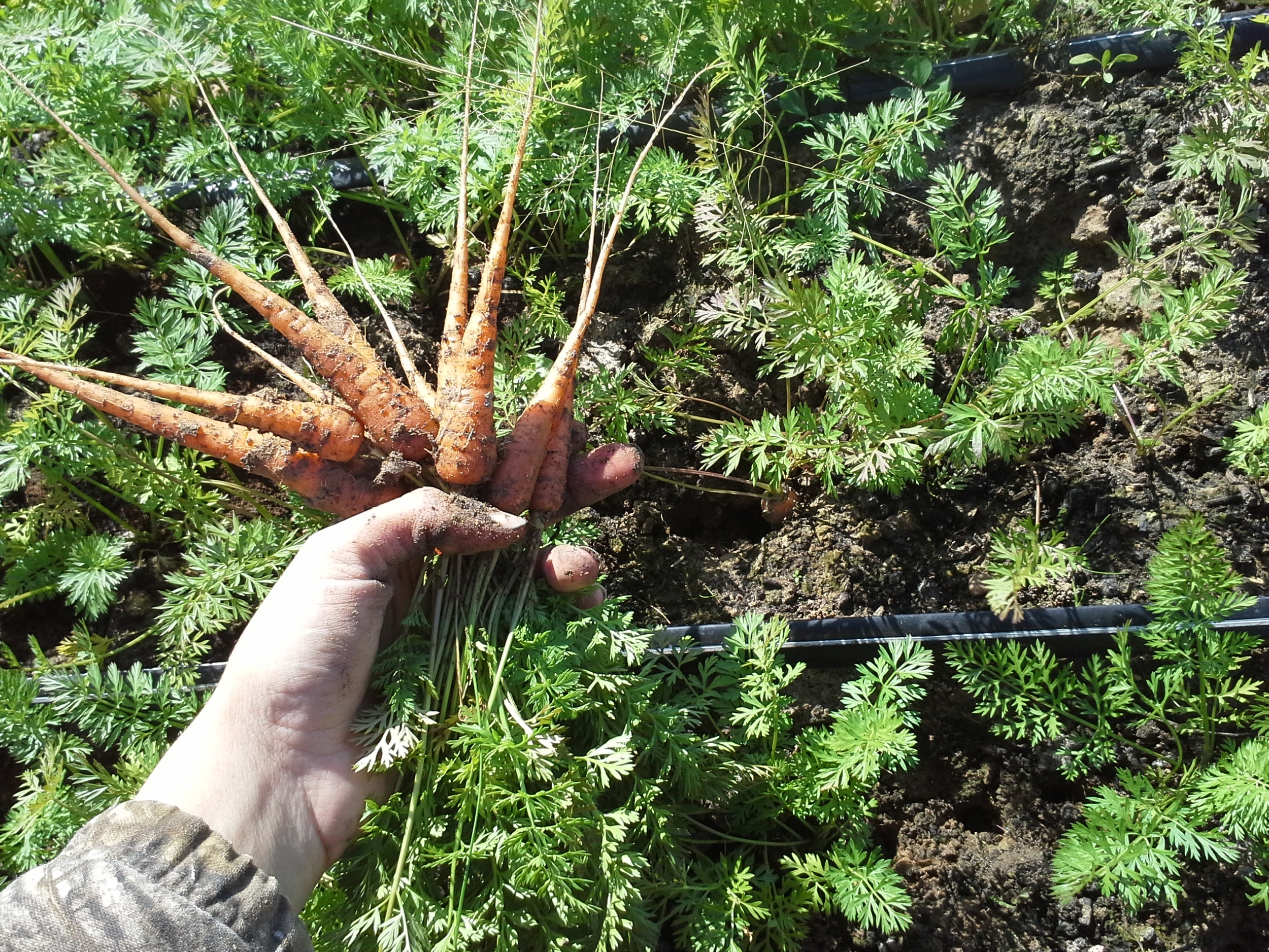 Baby carrots harvested early in the morning to be served for dinner as a Pelican Club special preview later that night.