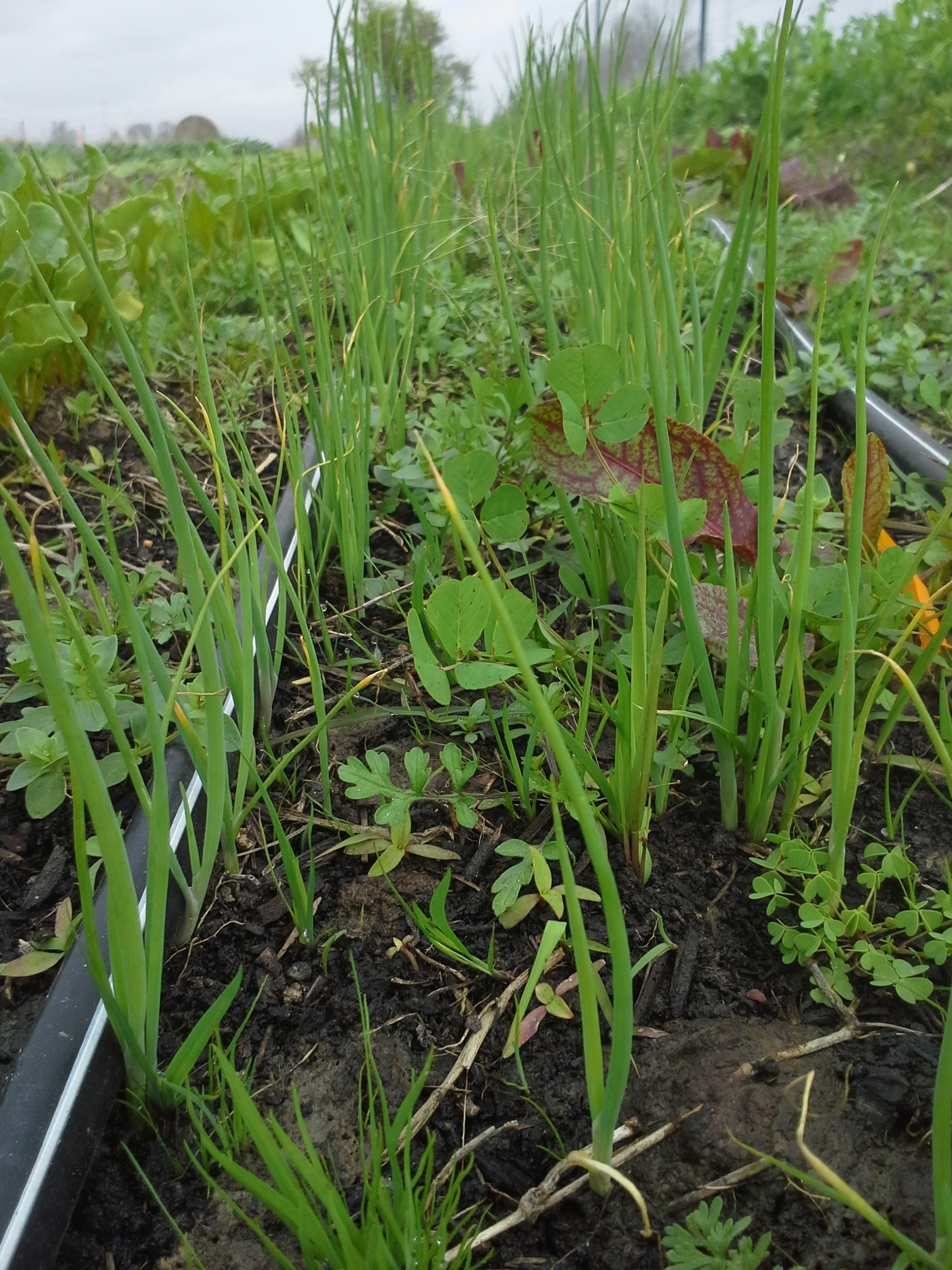 These scallions needed to be weeded much earlier than they were. Of course, we also needed to plant nearly 1,000 plants. They'l be fiiine.