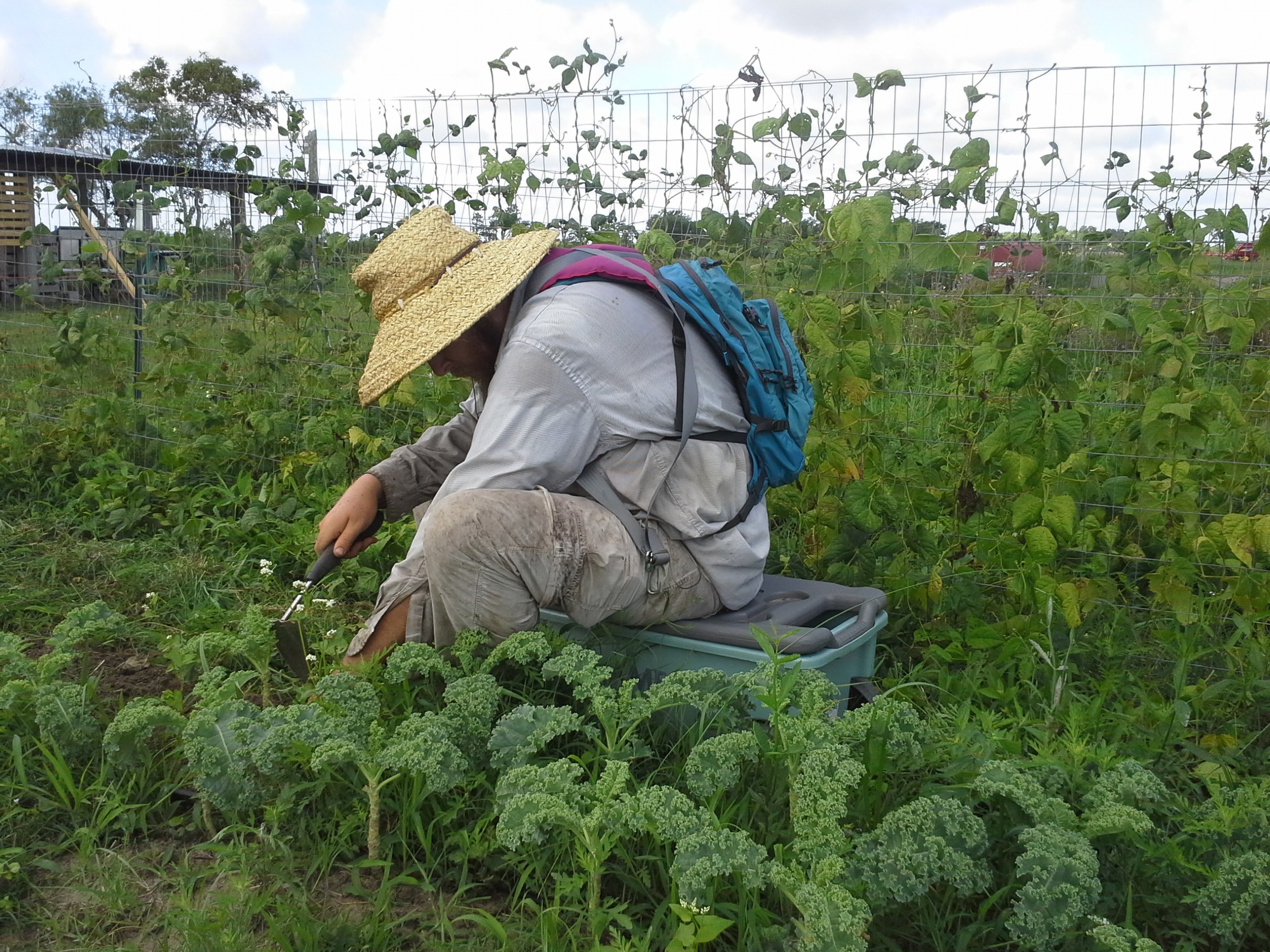 McFarmer works on getting the curly kale bed free and clear. This and the pole beans are the last vegetable crops in our Spring field.