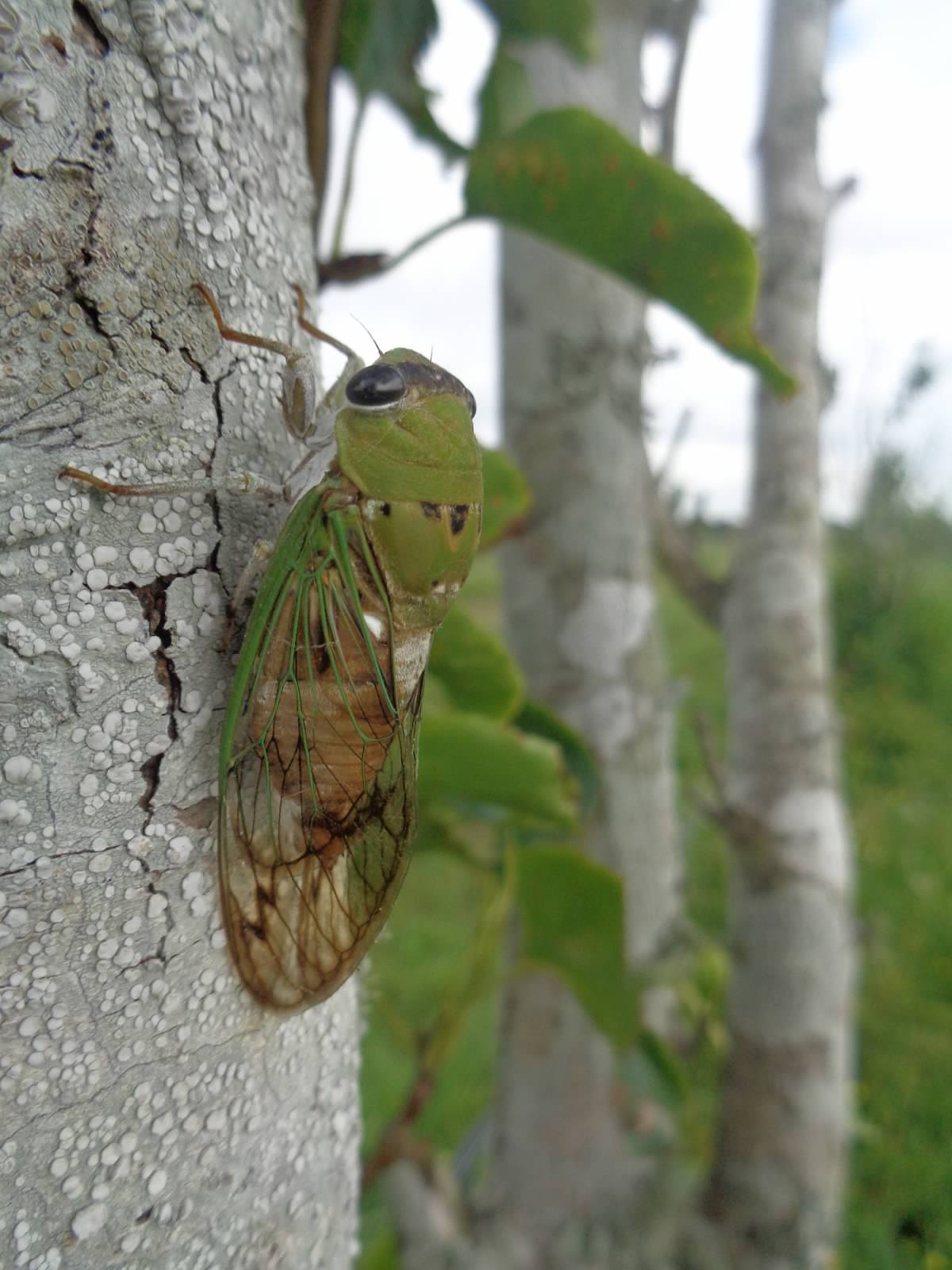 A cicada in the orchard. (c) Reese 2014