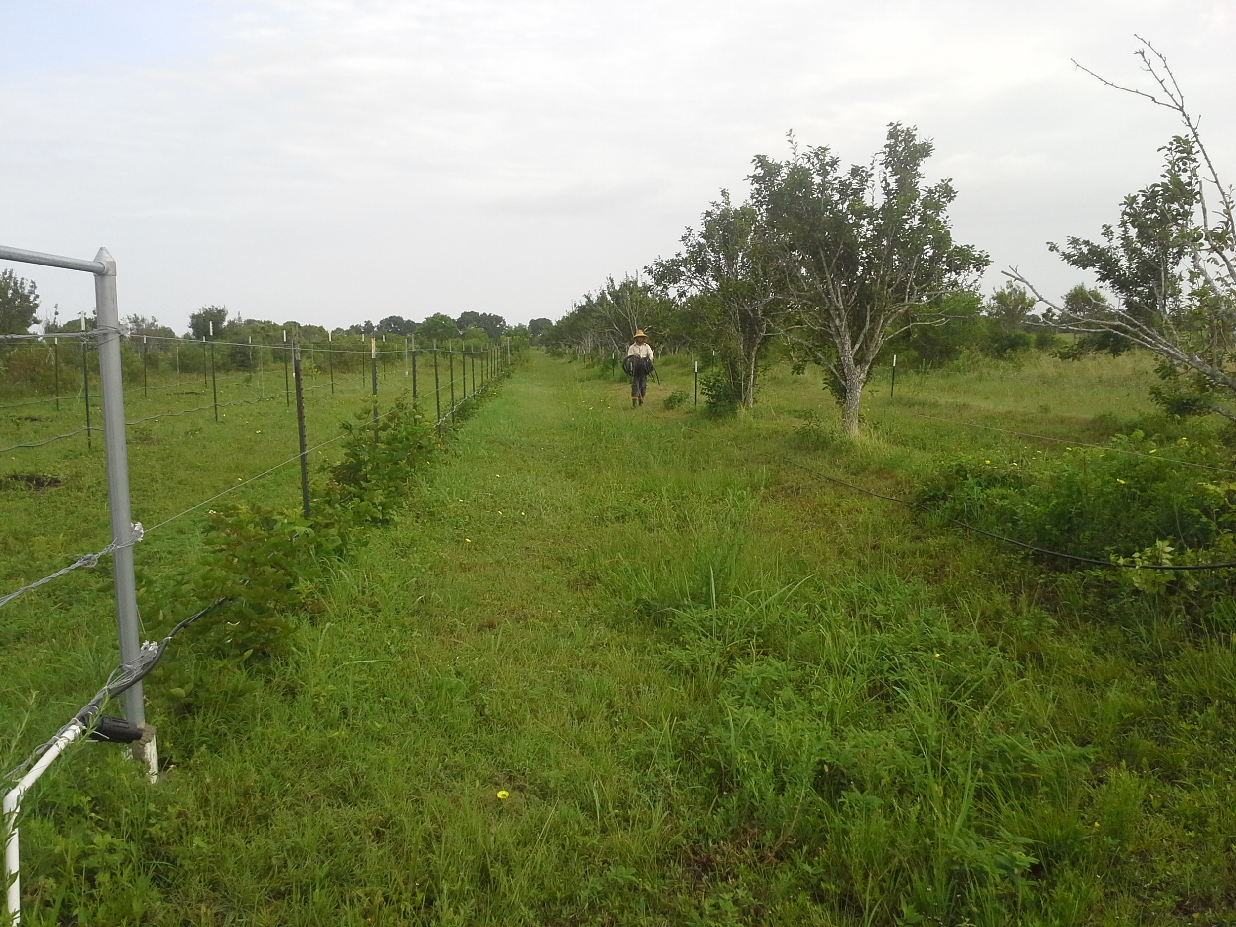 McFarmer running irrigation lines through one of the pear rows in the orchard. To the left are the blackberries.