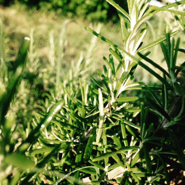Can you see the praying mantis baby hiding in the rosemary?