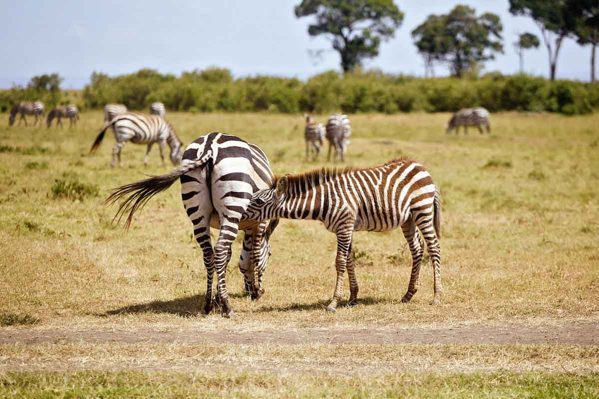 Masai Mara Safari Pre Wedding Love Story