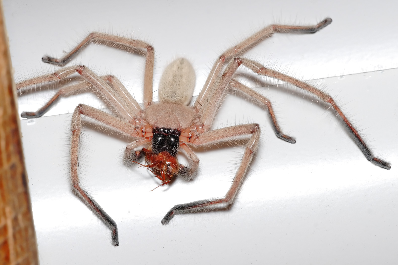 Huntsman_spider_with_meal.jpg