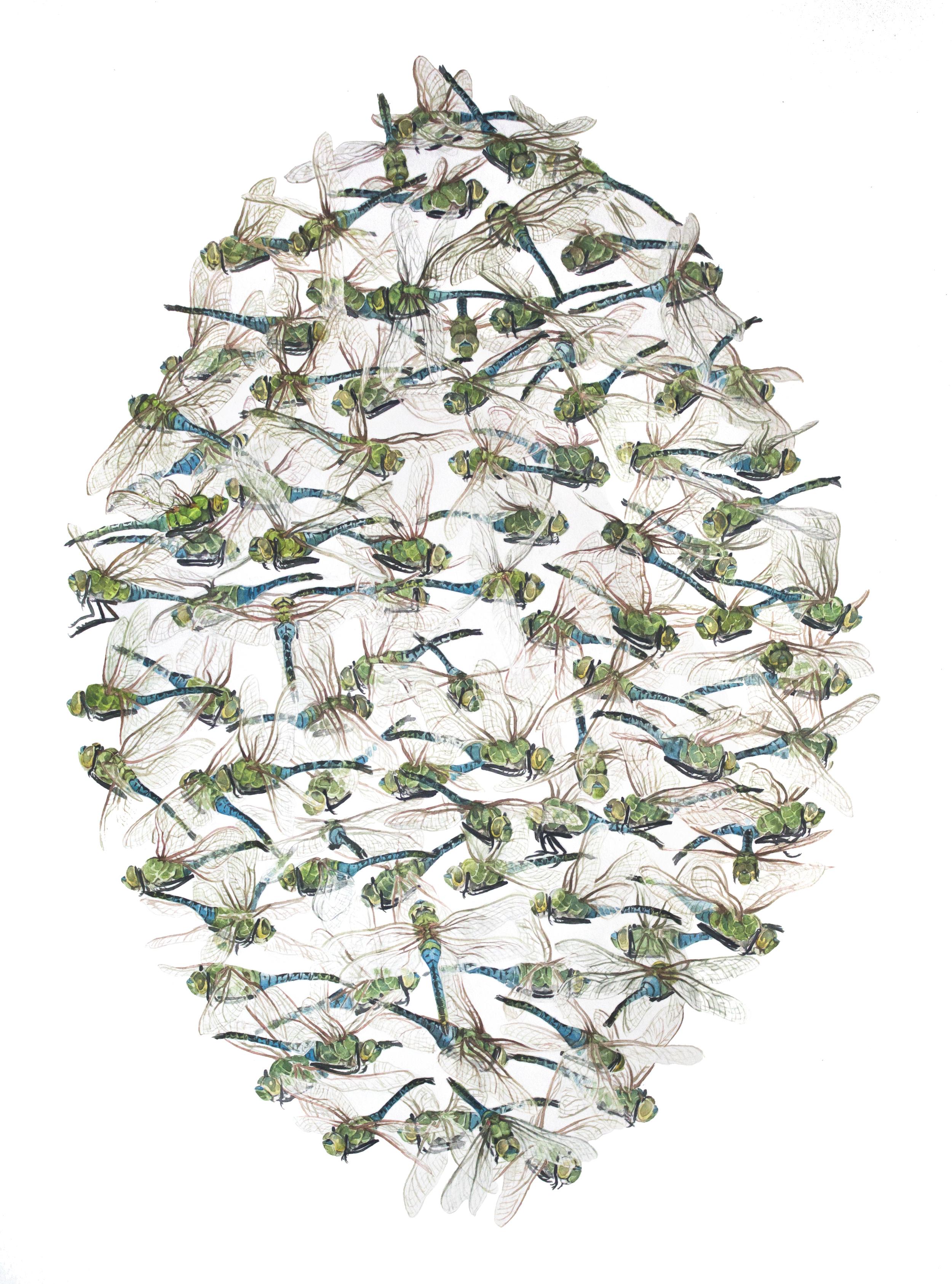 Green Darner Dragonflies
