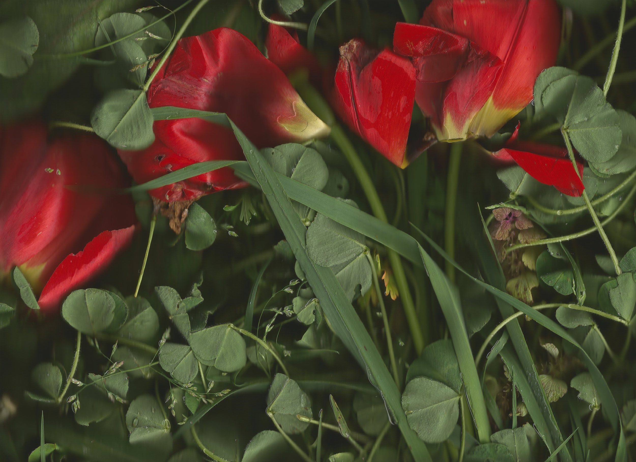 untitled (red tulips)