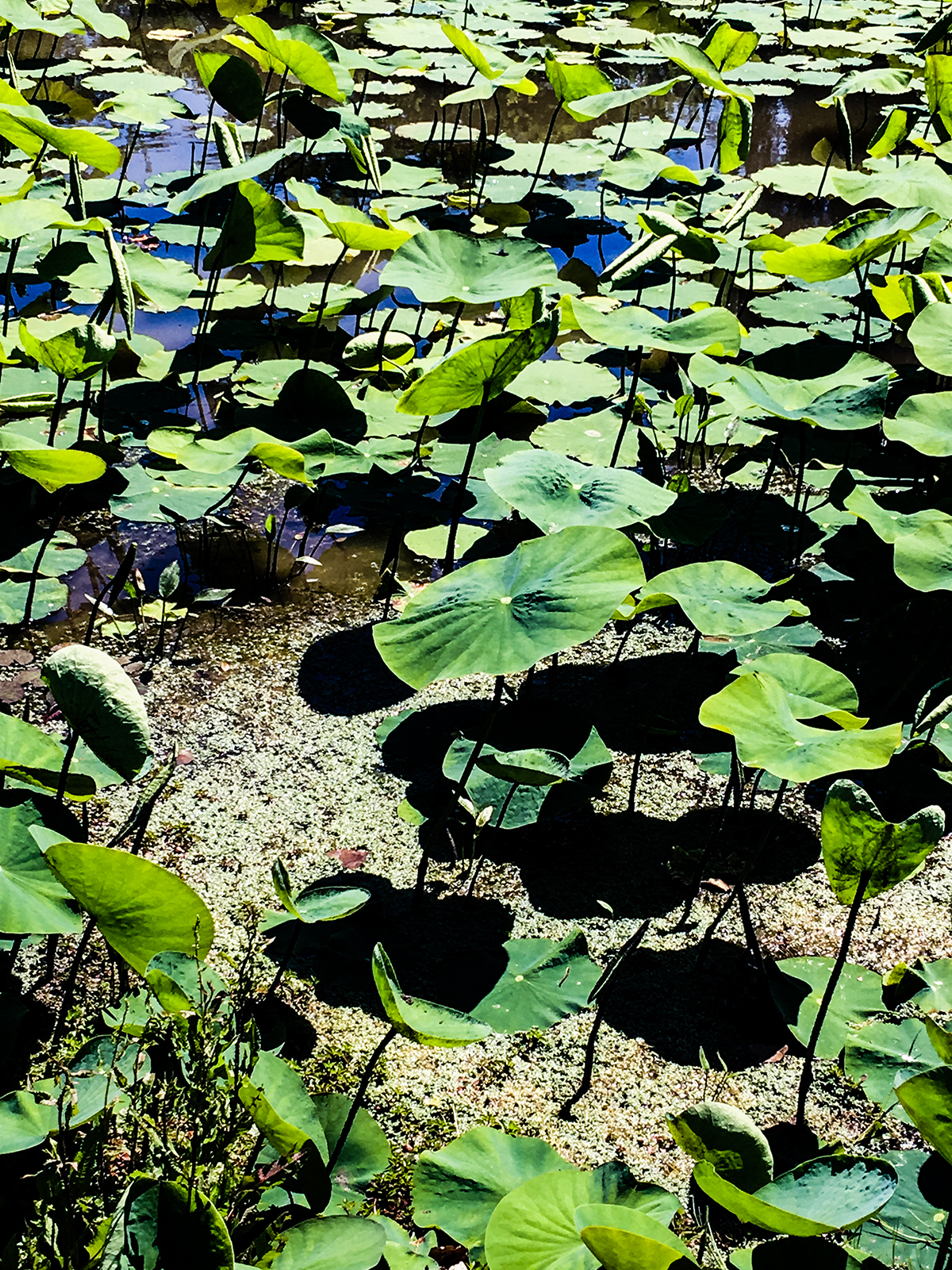 Lotus Pond, Plum Village ©2019 Lisa Berman