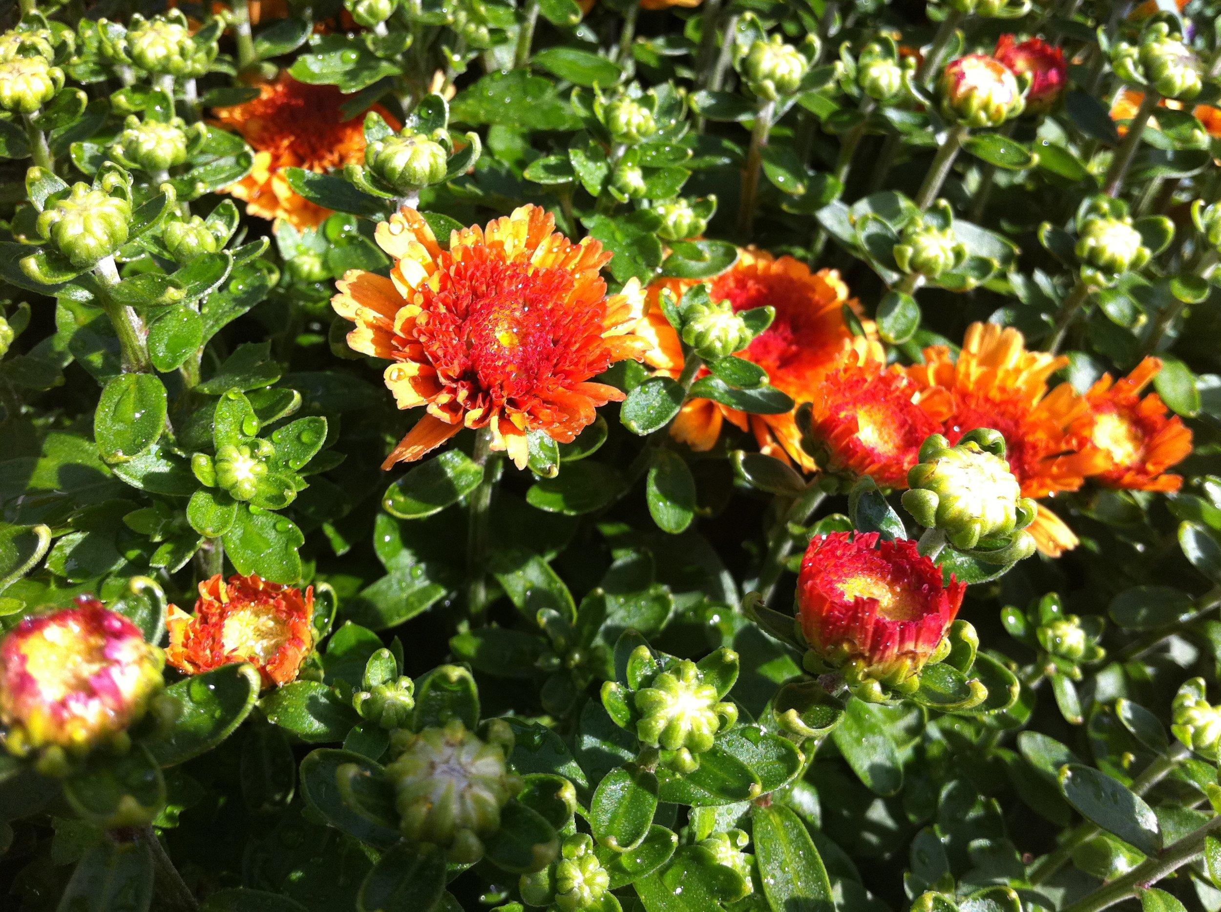 Orange_Mums.JPG
