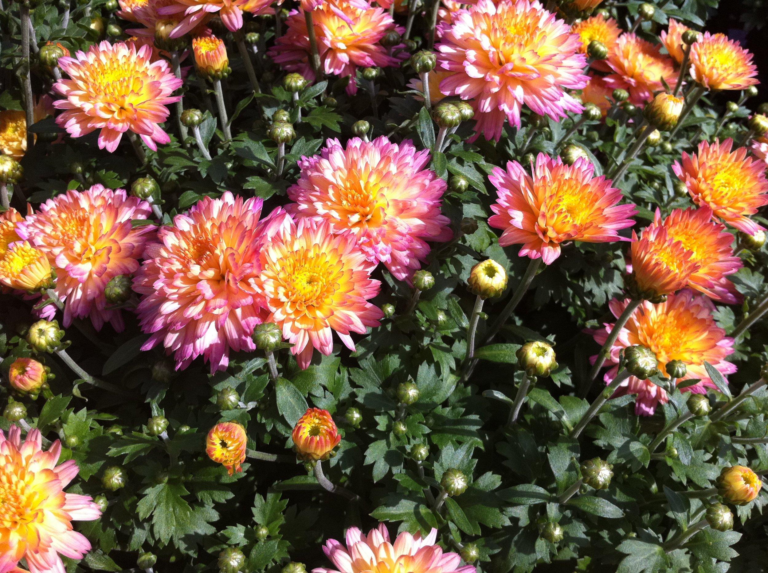 Pink_Orange_Mums.JPG