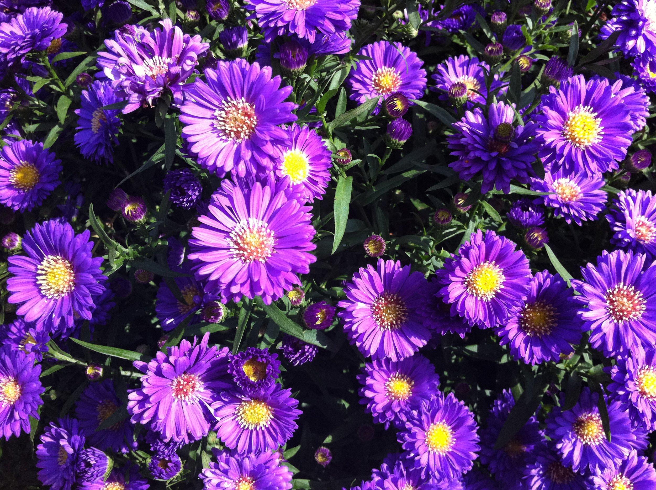 Purple_Astors.JPG