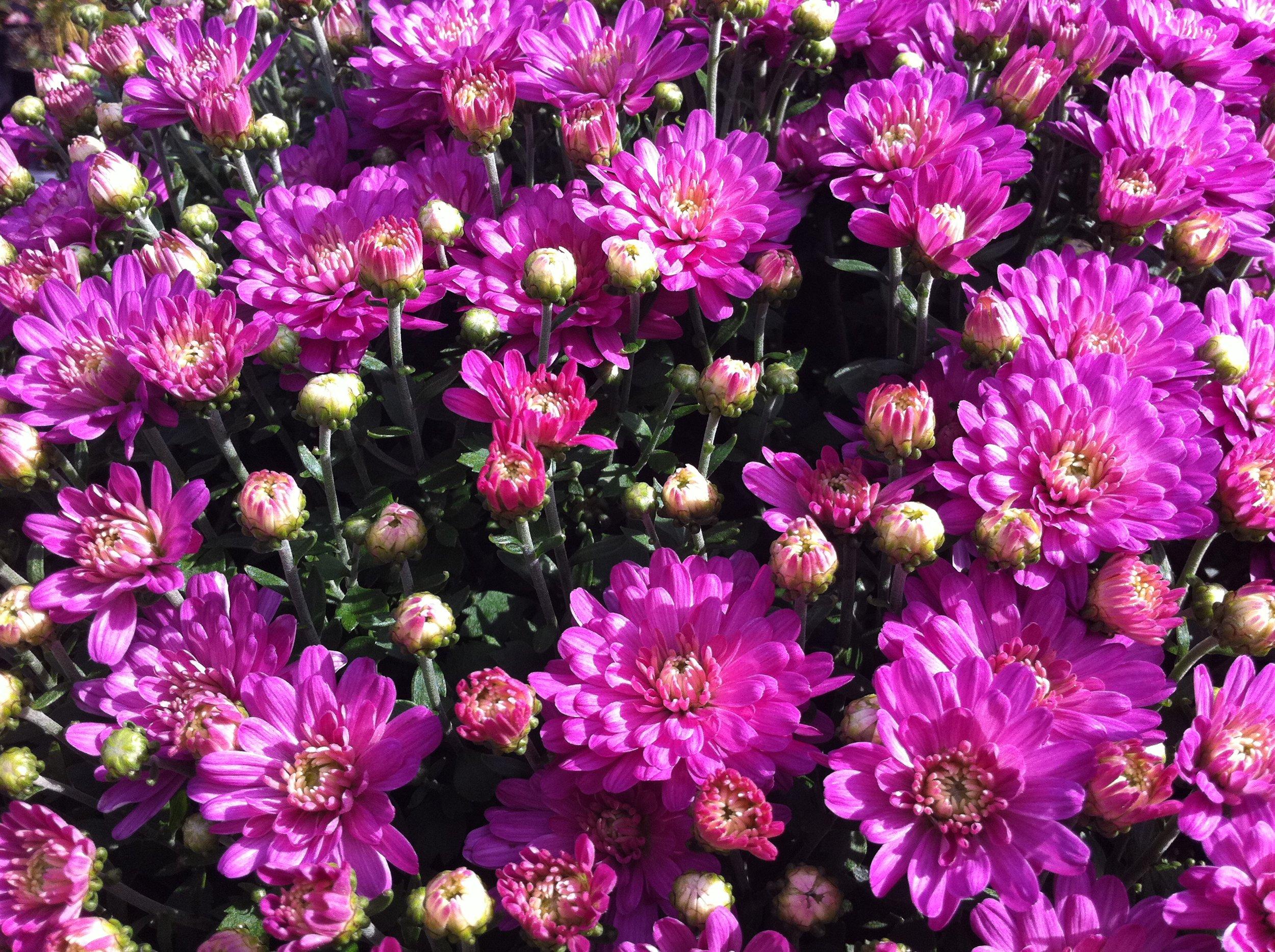 Purple_Mums.JPG