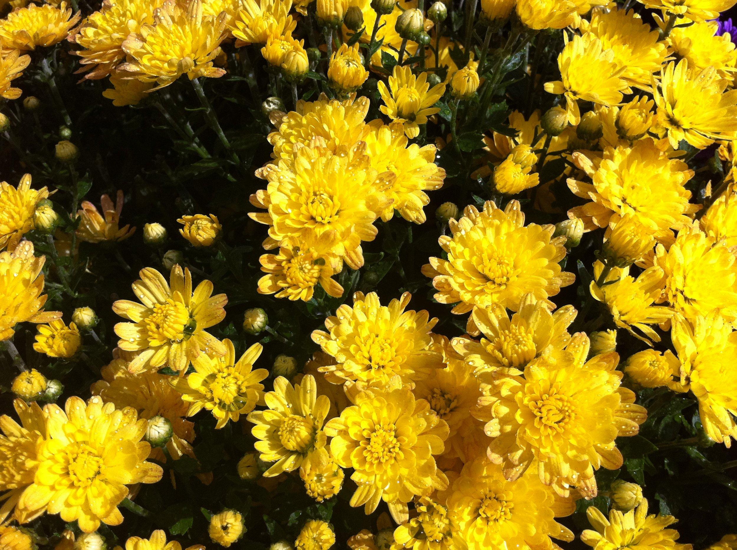 Yellow_Mums.JPG