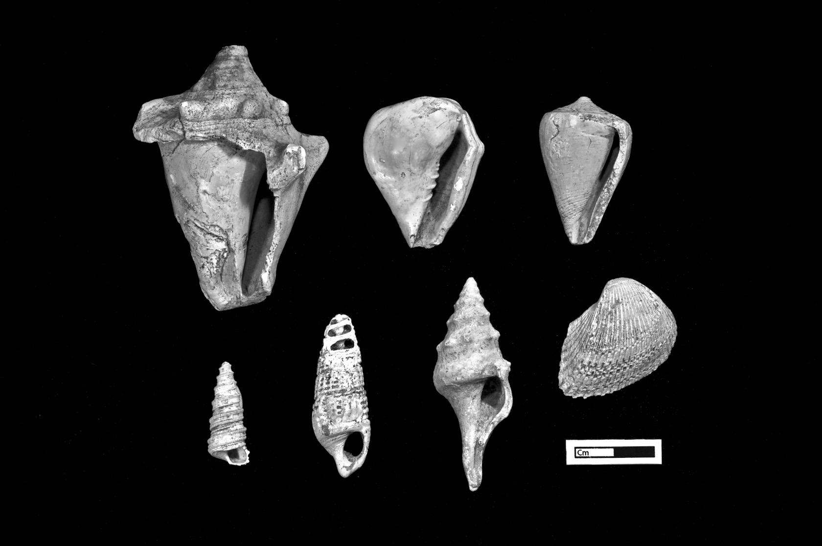Shells from the Neolithic site Çatalhöyük, Turkey.