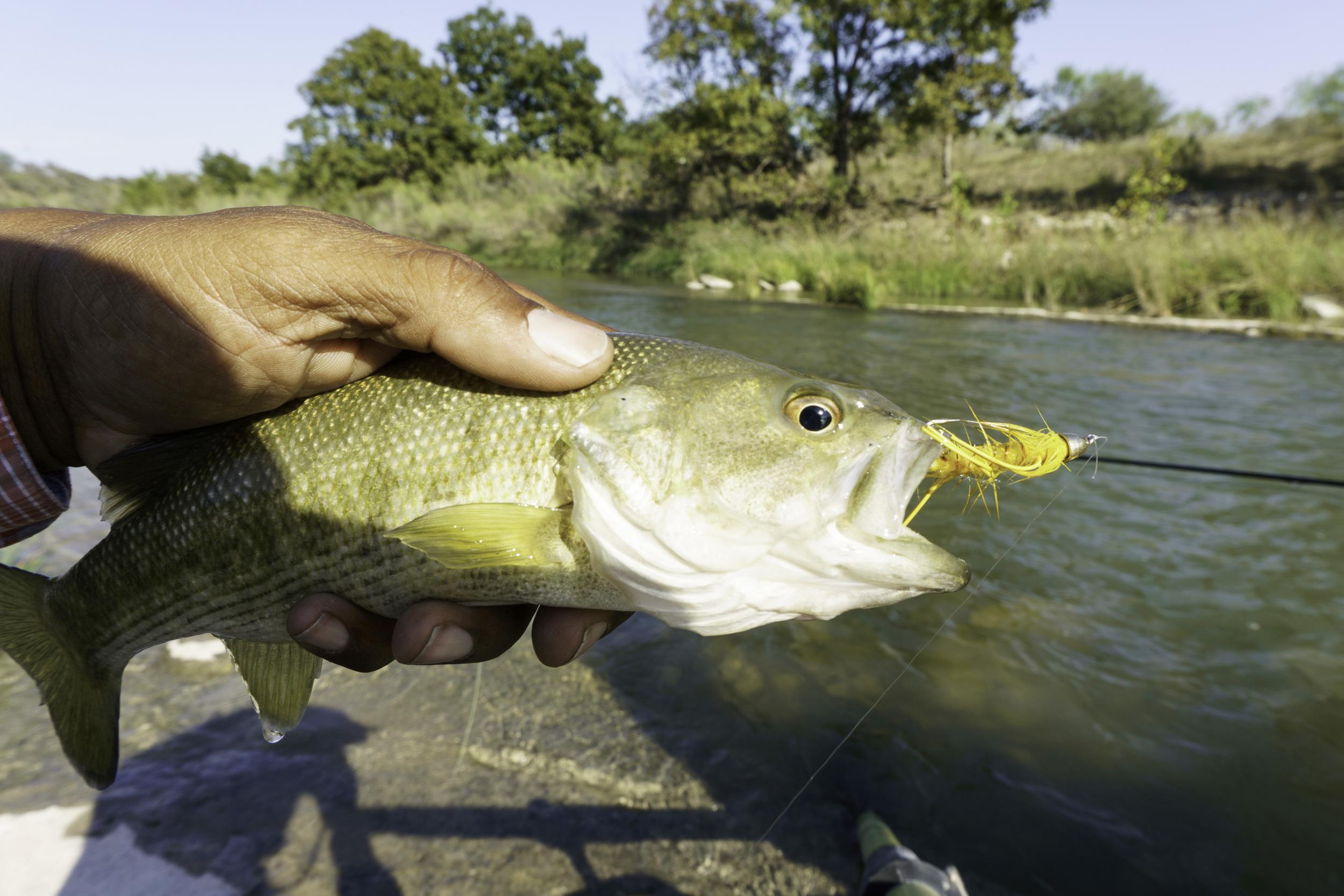 Llano River Guadalupe Bass