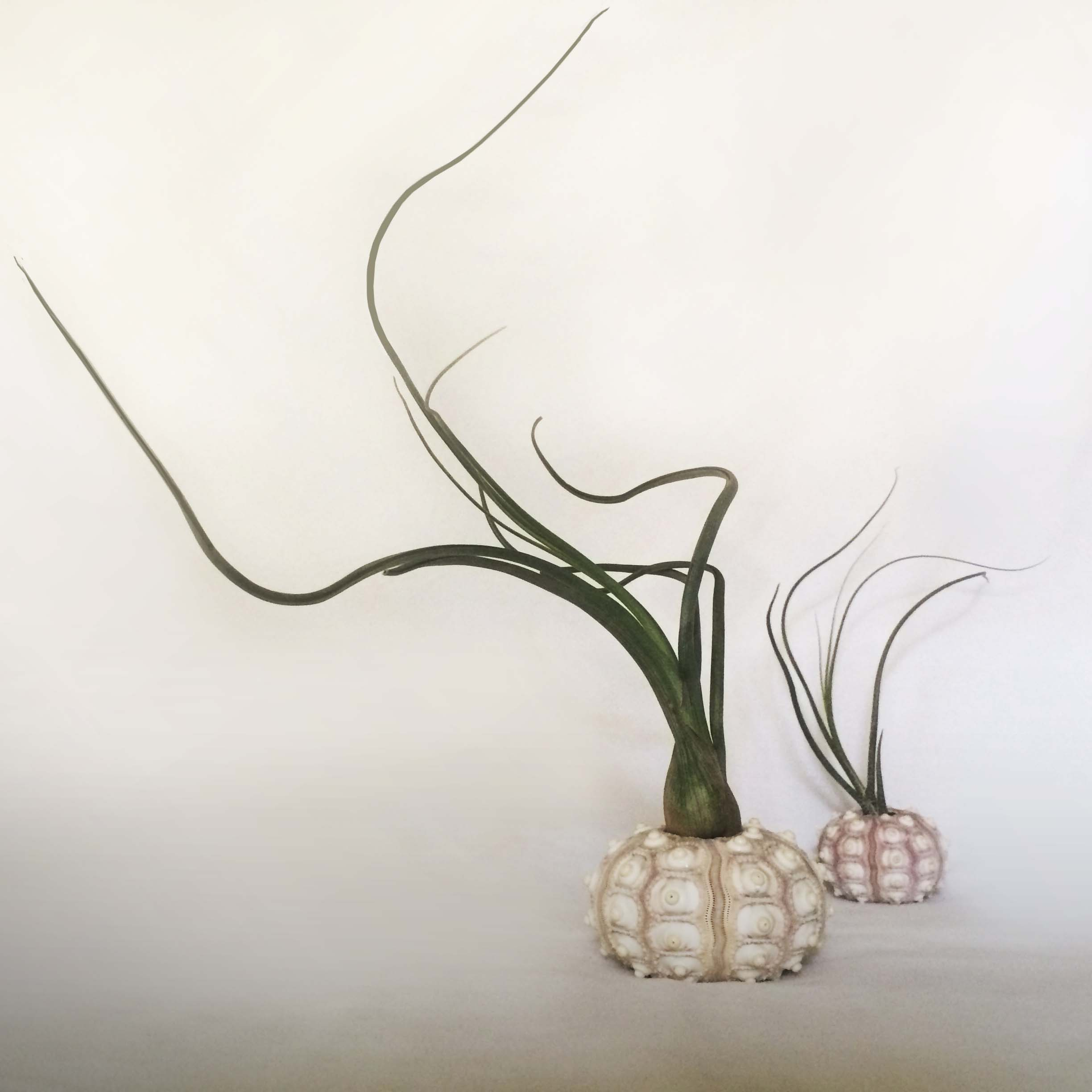 It has taken me awhile to post this, but back in october i devised a way to bring the ocean vibe to atlanta in the shape of  air plant jellyfish in small sea urchin shells . air plants are known as ' tillandsia ' and don't require any soil to grow. They get all of the water and nutrients they need through tiny vessels located throughout their specialized leaves, called  trichomes,  which capture nutrients and moisture from the air. Air plants use their roots only to anchor themselves to rocks, trees, shrubs and the ground. Moderate light and a good soak every couple of weeks are t  heir only requirements...   the perfect plant  <3